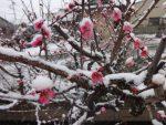 雪の梅の花❀❀❀
