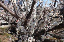 白い梅の花❀❀❀