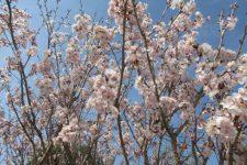 春…ピンクいろ